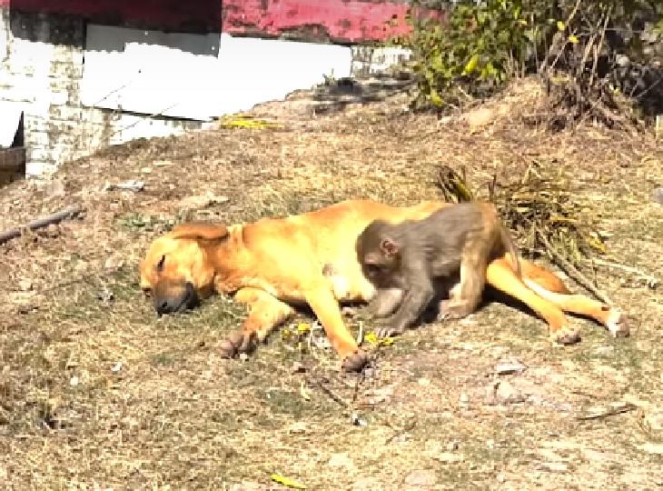 badal-scimmia-india-cane