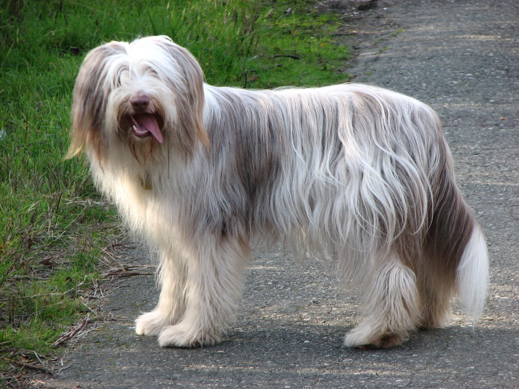cane razza Bearded Collie
