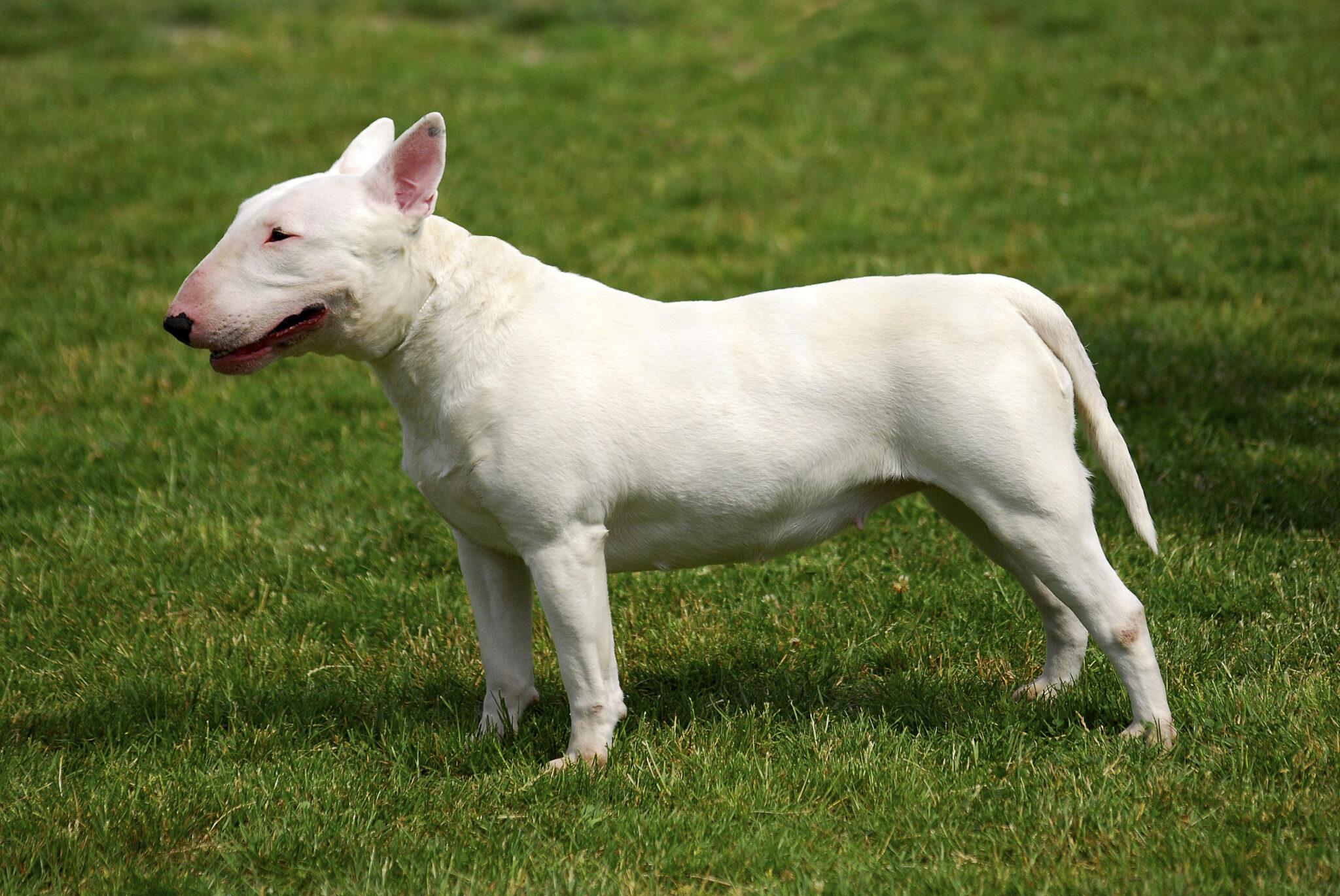 esemplare di cane Bull Terrier