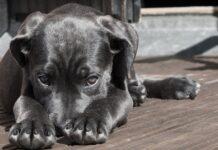 cane-nero-triste