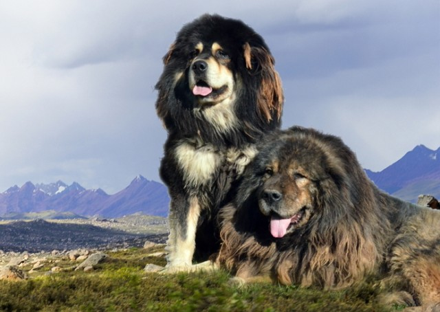 esemplari di cane razza Bangara