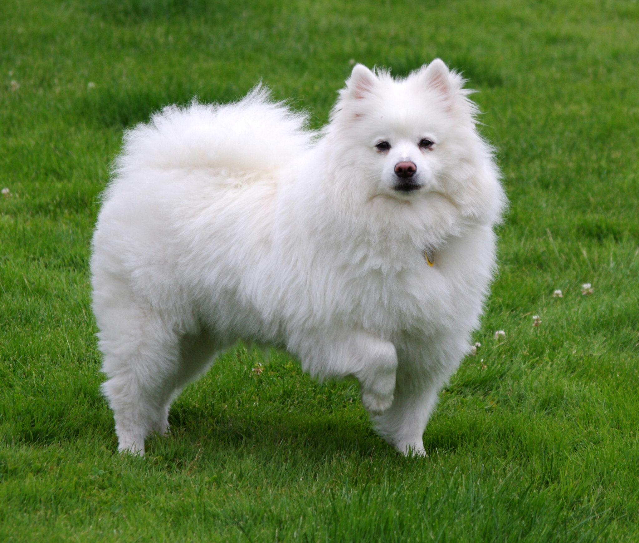 esemplare di American Eskimo Dog