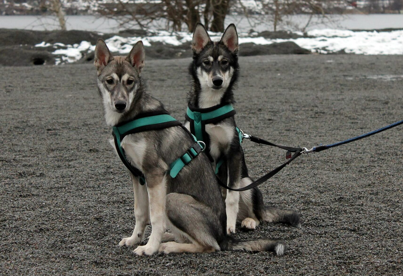 Esemplari di Alaskan Husky