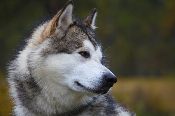 Alaskan Malamute che osserva