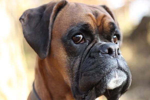 Boxer che osserva