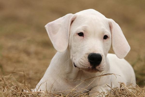 Cucciolo di Dogo Argentino che osserva