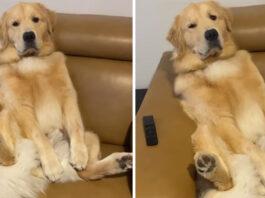 Golden Retriever seduto sul divano