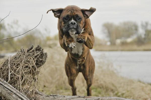 Boxer che salta