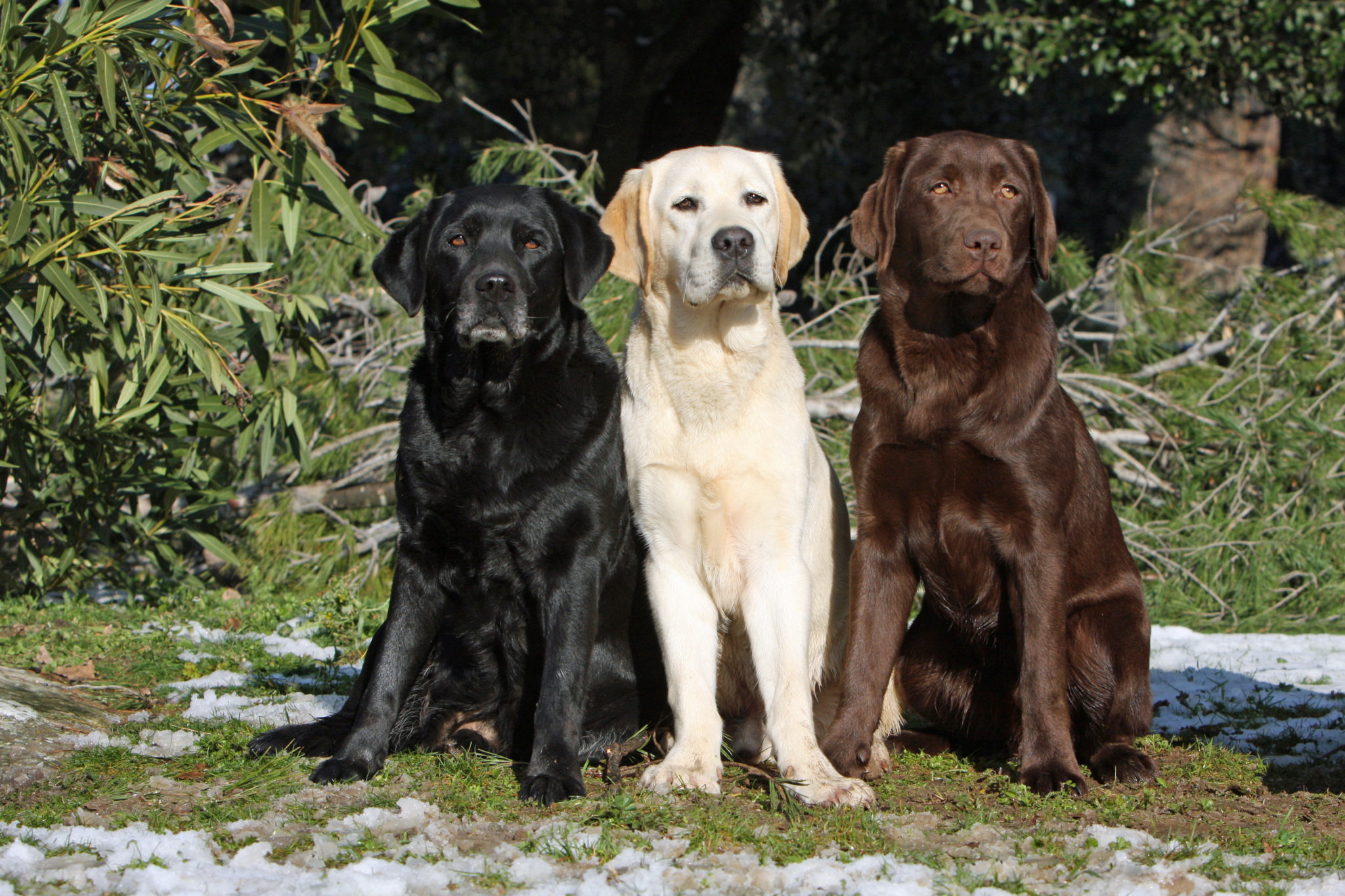 esemplari di labrador retriver bianco nero cioccolato