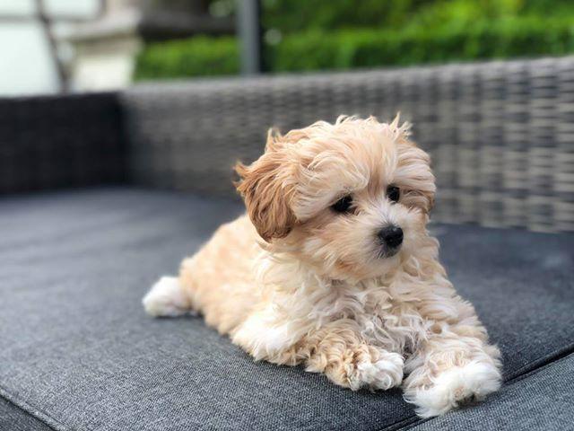 cane razza Maltipoo