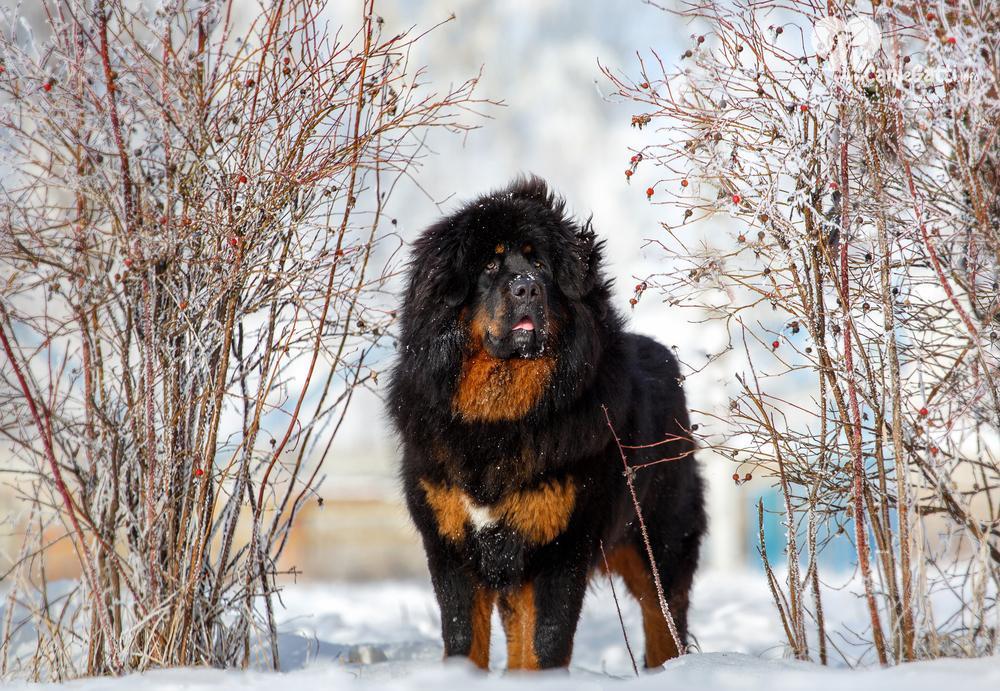 Mastino Tibetano nella neve