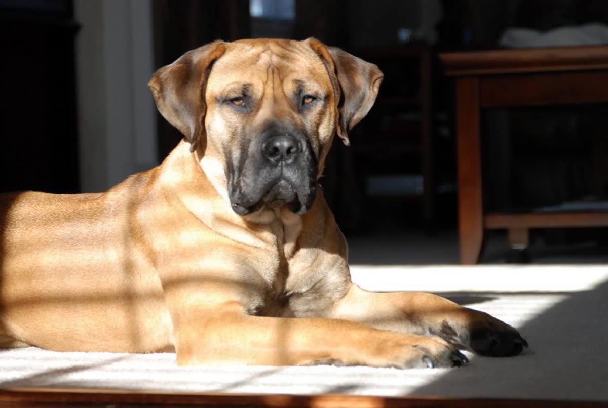 esemplare di Nebolish Mastiff