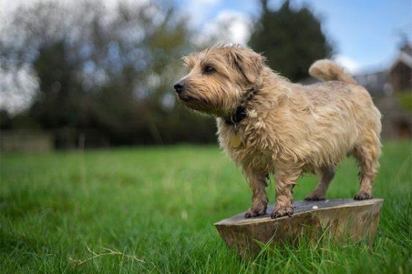 esemplare di Norfolk Terrier