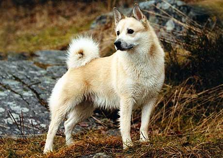 cane Norsk Buhund