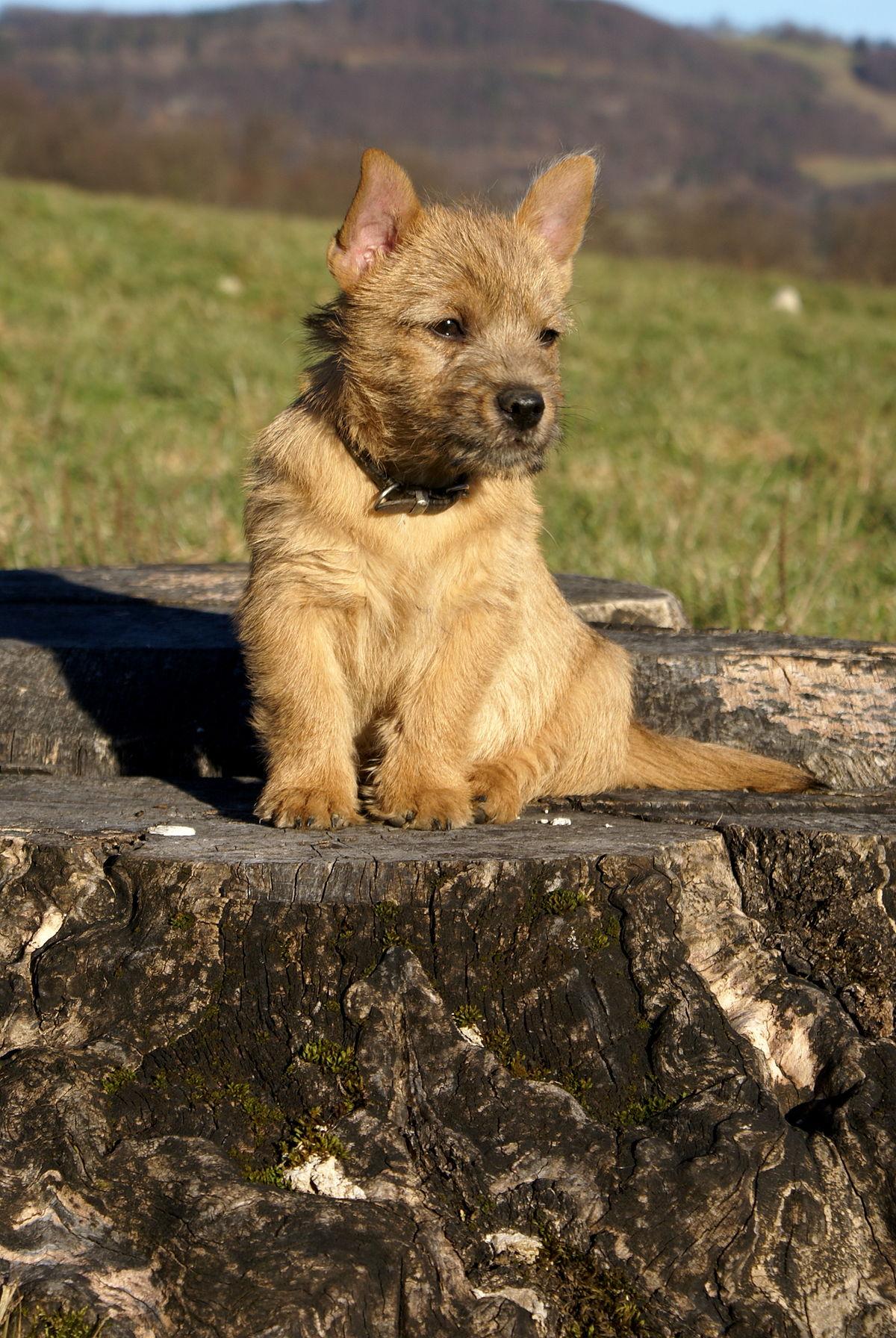 cucciolo di Norwich Terrier