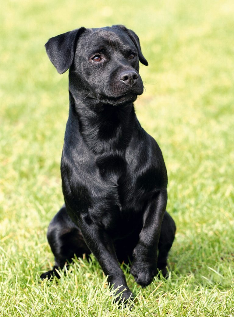 esemplare di Patterdale Terrier