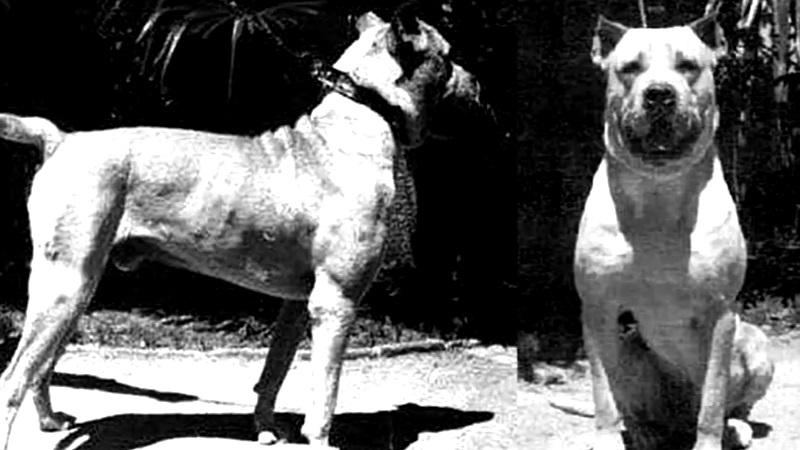 foto di repertorio in bianco e nero di Perro de Pelea Cordobes