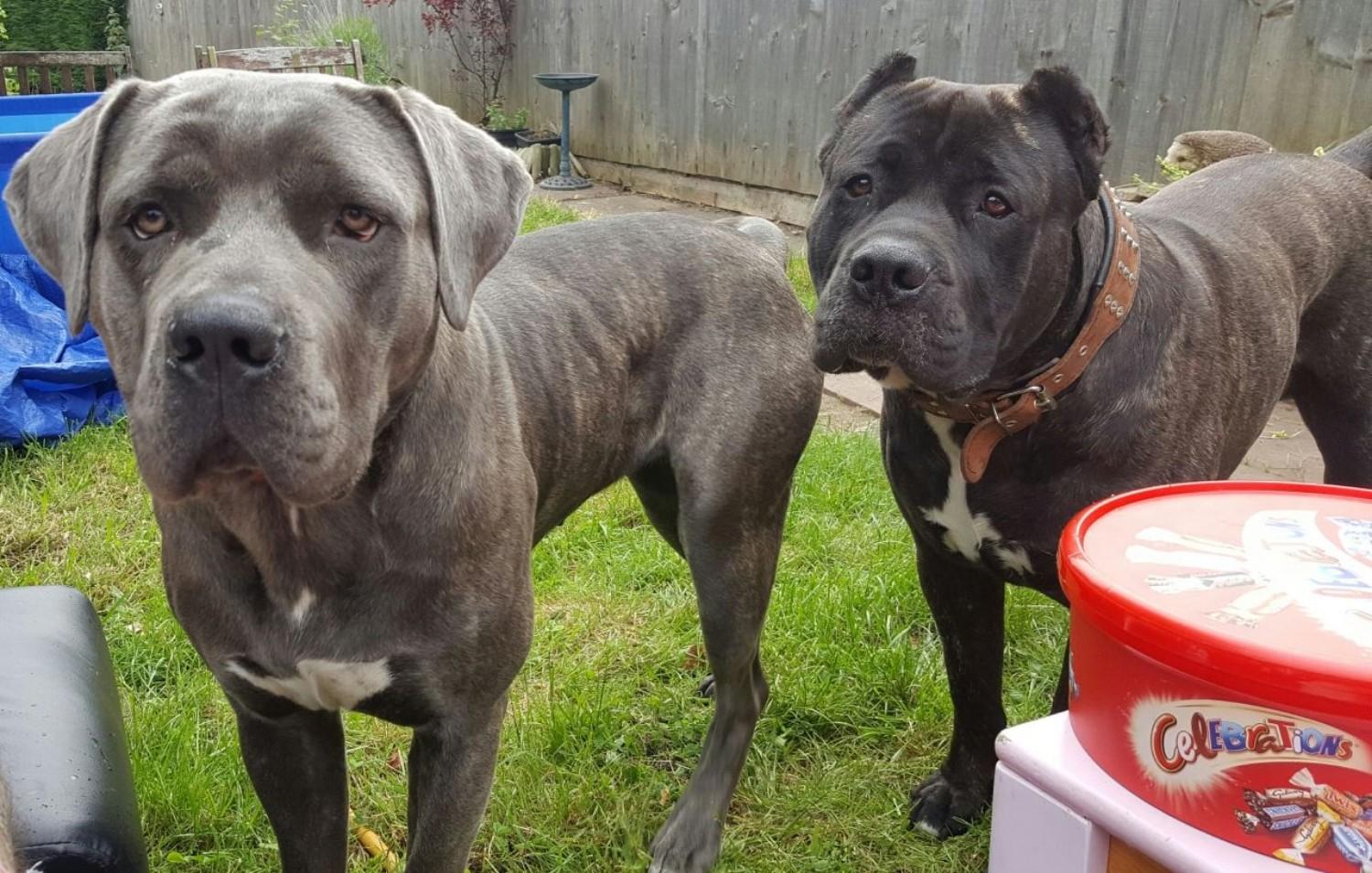 due esemplari di Perro de Toro