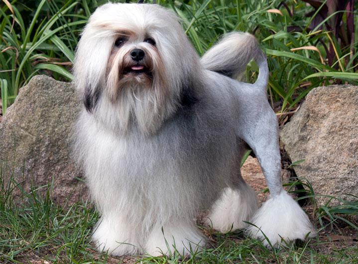 Piccolo Cane Leone