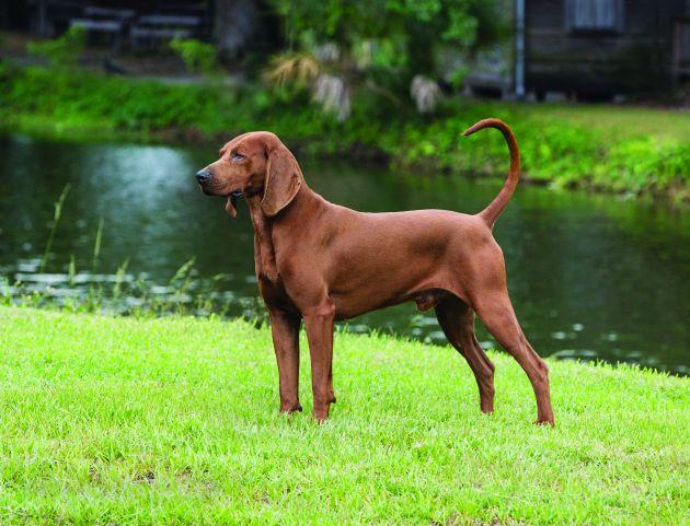 cane Redbone Coonhound