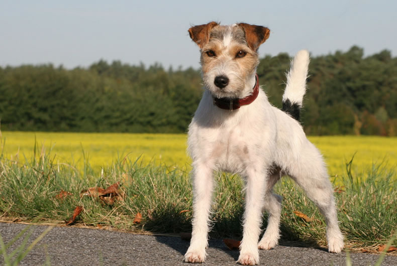 esemplare di Russell Terrier a pelo lungo