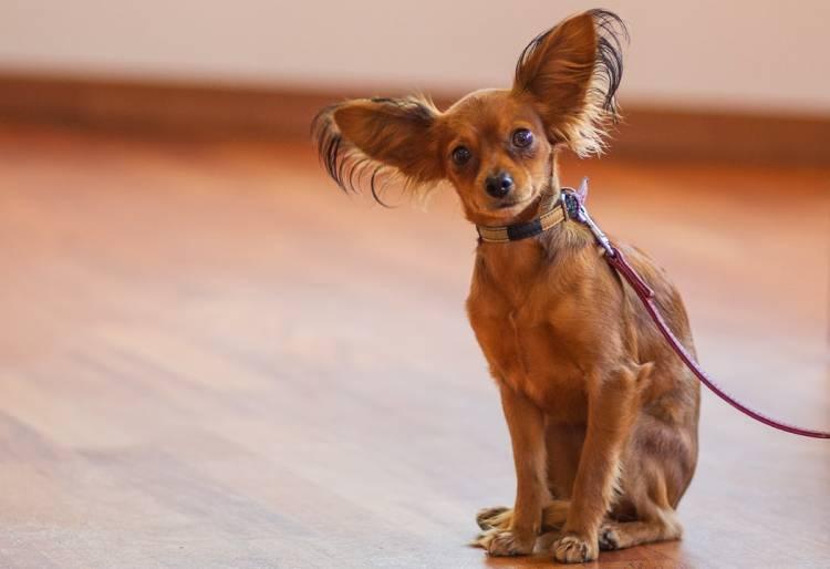 esemplare di Russian Toy Terrier