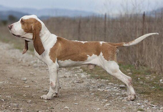 cane Sabueso