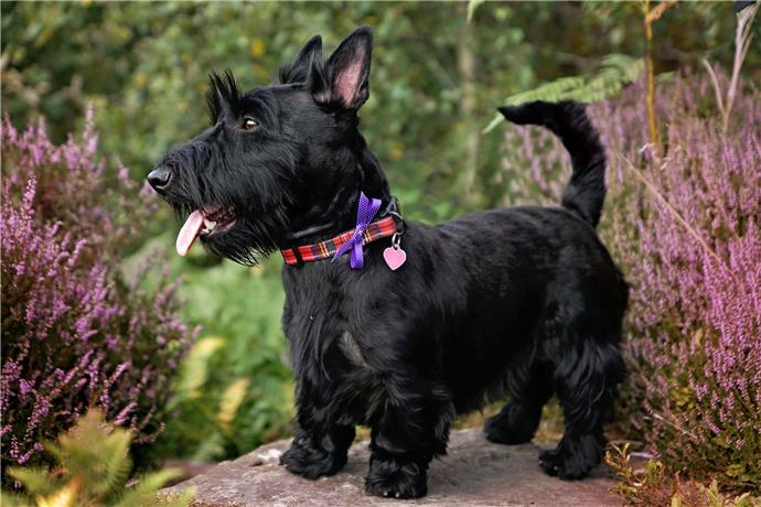 cane Scottish Terrier nero