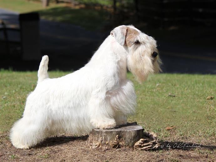 cane Sealyham Terrier bianco