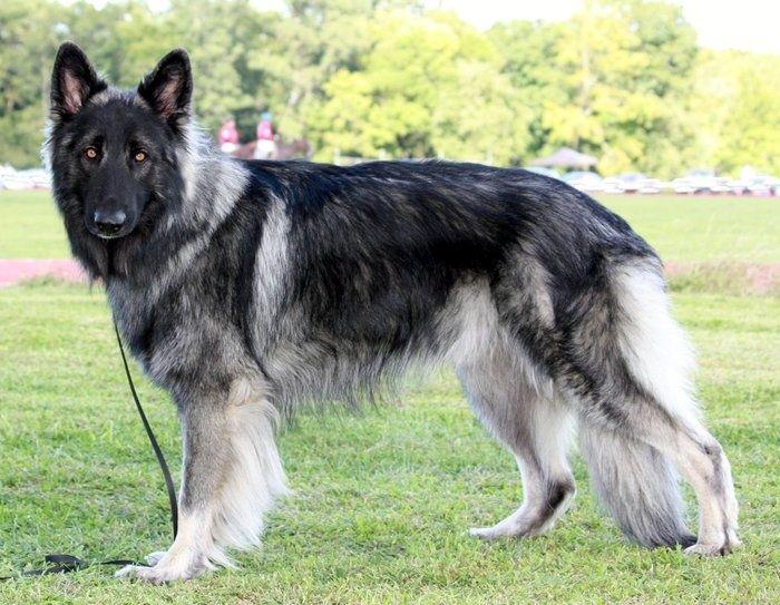 esemplare di Shiloh Shepherd Dog