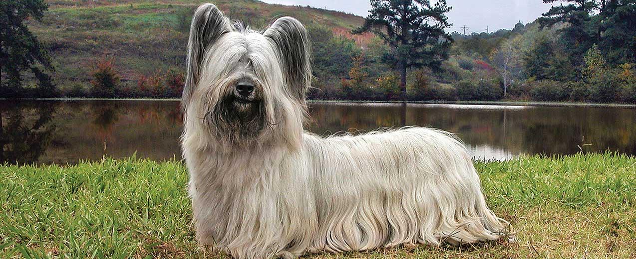 esemplare di Skye Terrier