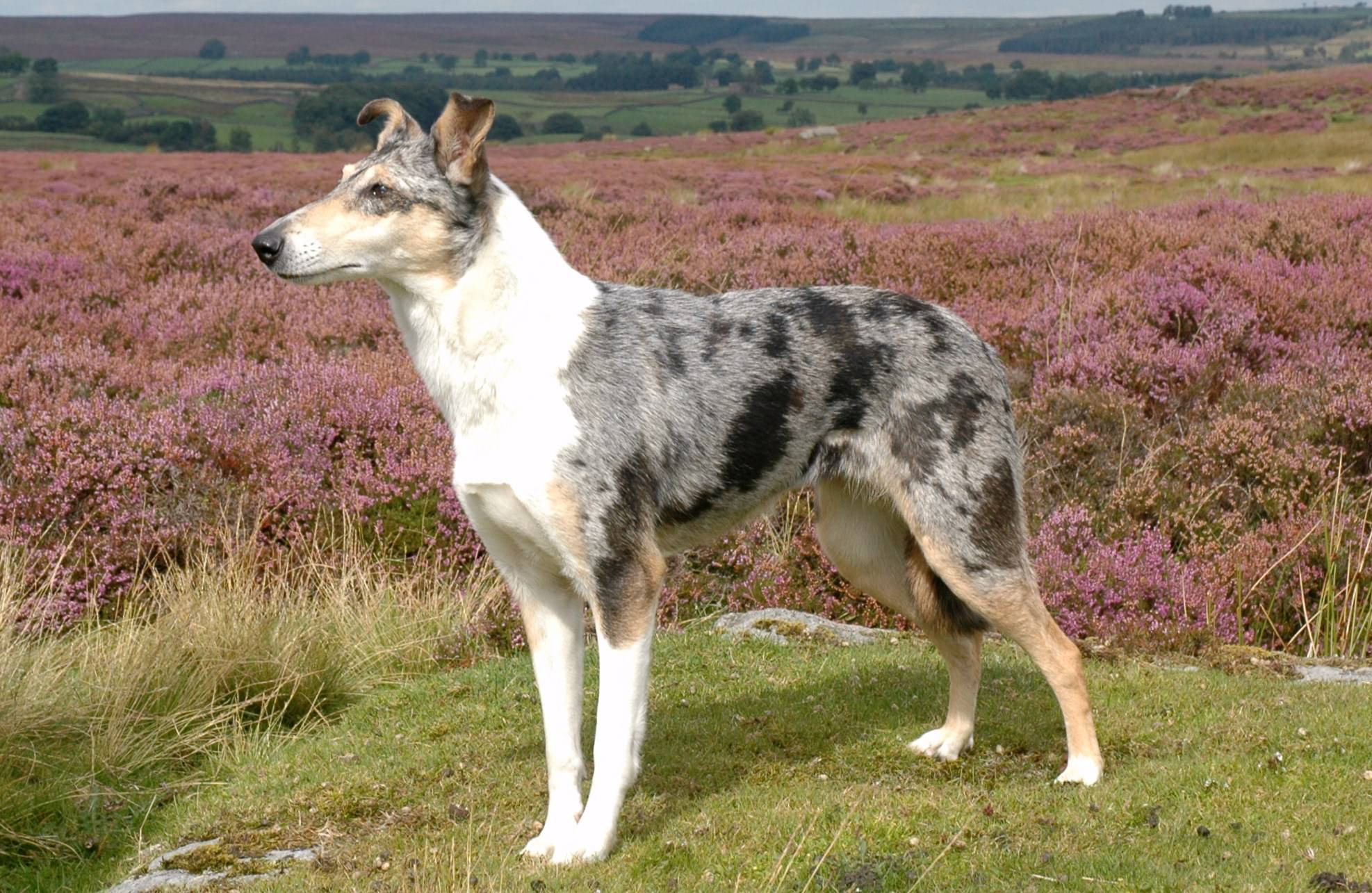 Smooth Collie in campagna