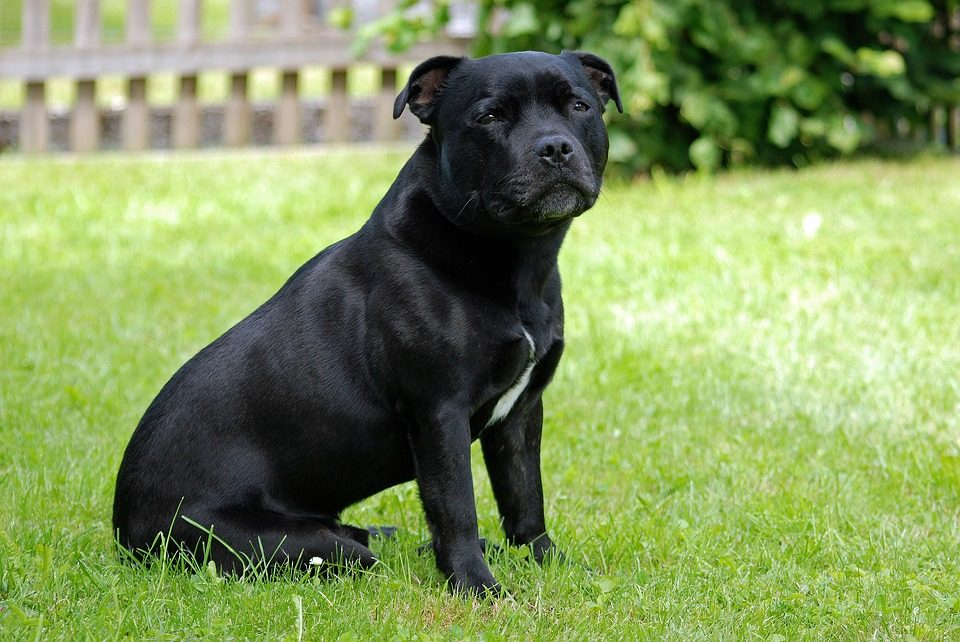 cane Staffordshire Bull Terrier