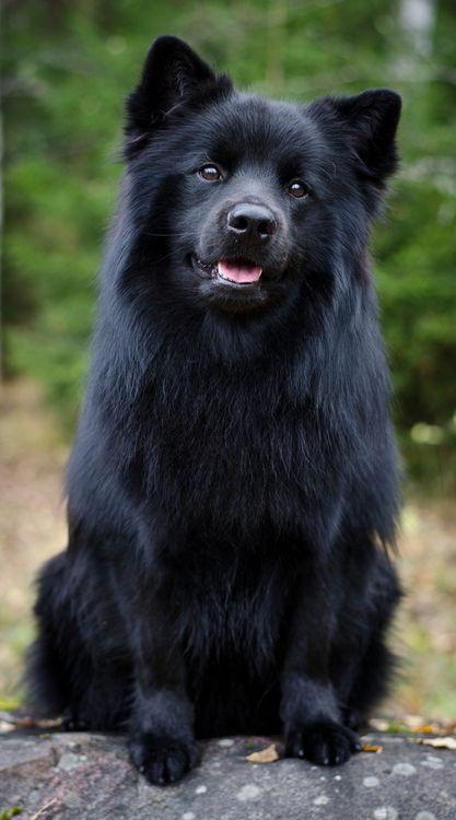 esemplare nero di cane Svensk Lapphund