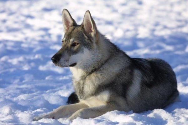 cane Tamaskan sulla neve