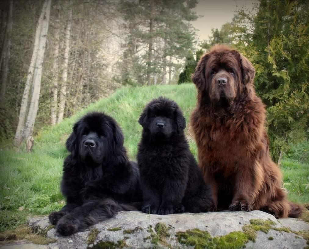 cani terranova nero e marrone
