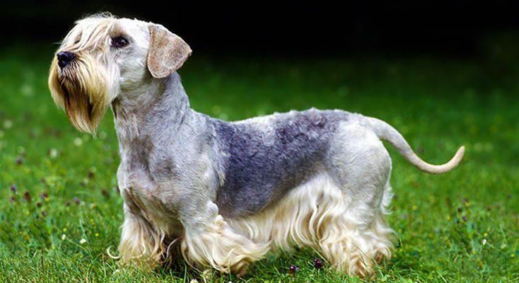 cane Terrier Boemo