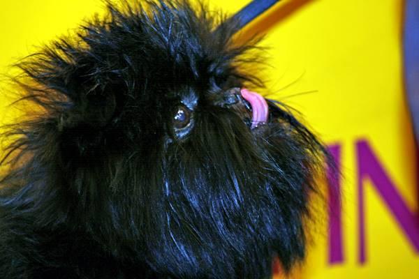 affenpinscher con il muso di scimmia
