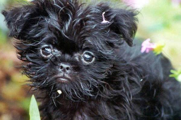 cucciolo di affenpinscher