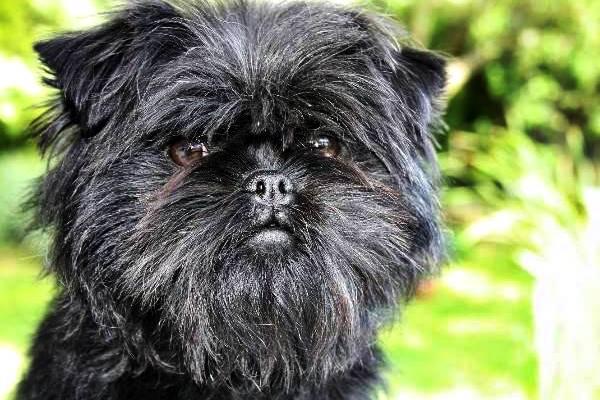 Affenpinscher, tutte le curiosità su questo cane