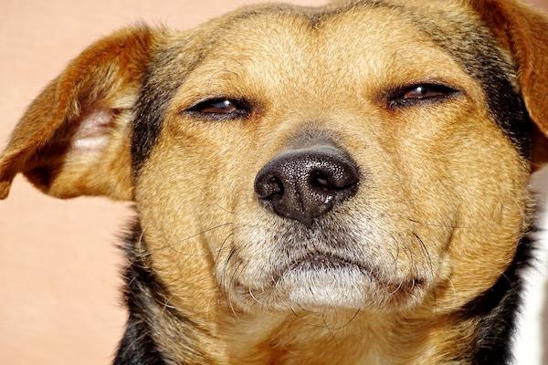 cane sempre stanco
