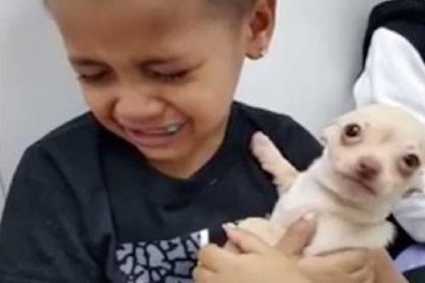 chihuahua bambino video