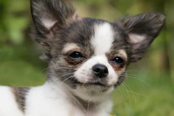 Chihuahua osserva