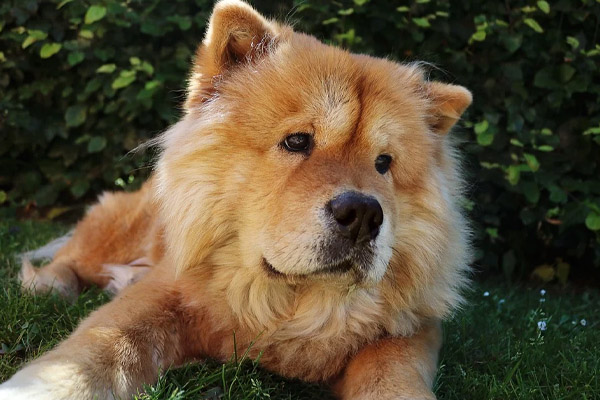 Chow Chow che osserva