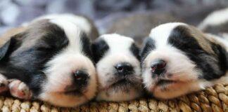 tre cuccioli di cane che dormono
