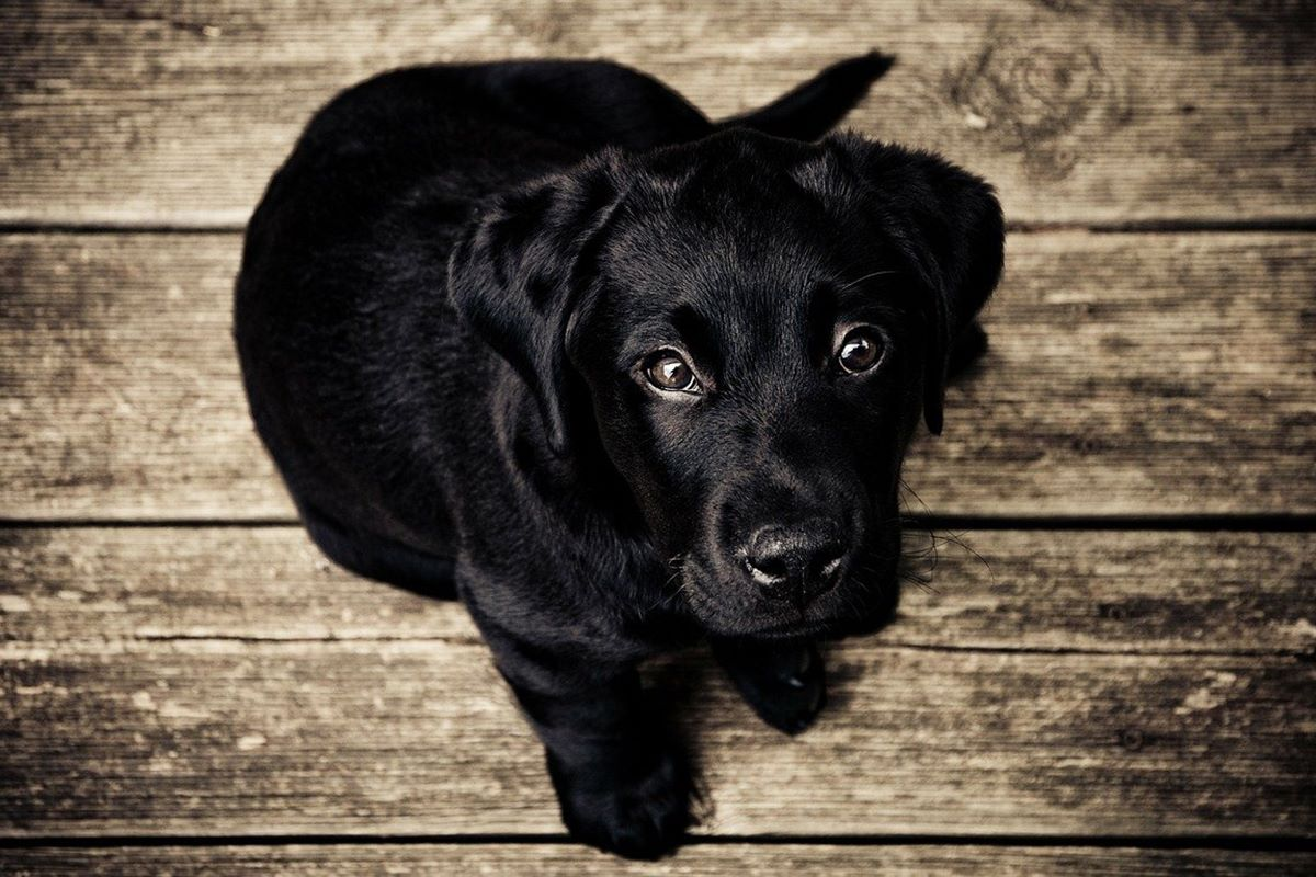 cucciolo nero
