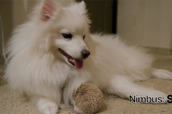 Nimbus, il cagnolino migliore amico di un riccio (video)