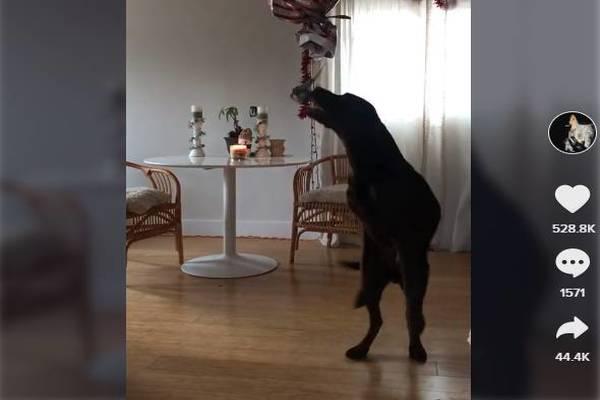 Ruger, il Labrador che ha ricevuto in regalo decine di palline da tennis (VIDEO)