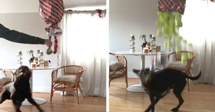 Cane che gioca con palline