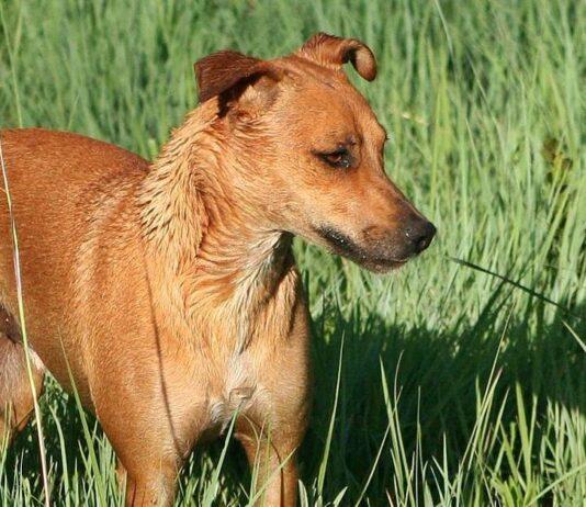 cane africanis in mezzo all'erba